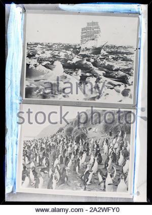 Glas Negativ - Schiff Discovery überlagert und Gentoo Pinguin Kolonie, BANZARE, Voyage 1, Antarktis, 1929-1931, Schwarz und Weiß Glas negative von zwei Fotos von Eric Douglas zeigt das Schiff SY Discovery 1 und eine Kolonie von Gentoo Penguins. Einer der 328 Bilder in verschiedenen Formaten wie Kunstwerke, Fotografien, Glasnegative und Laterne Folien - Stockfoto