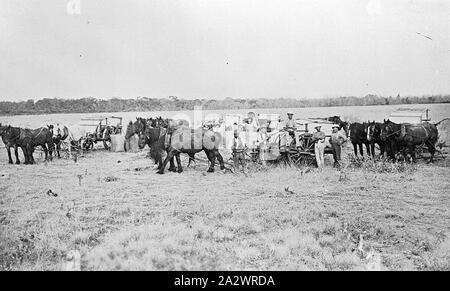 Negative - See, Victoria, ca. 1905, Ernte mit Pferd Teams - Stockfoto