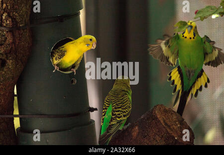 Balzende Vögel Wellensittich wellensittich Melopsittacus undulatus bieten jedem anderen Samen. - Stockfoto