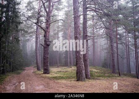 Magic Pinienwald und der Straße im Morgennebel. - Stockfoto