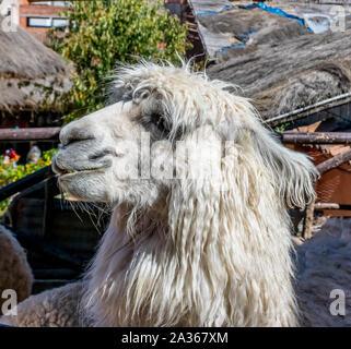 Heilige Tal, Peru - 06/24/2019: Awanacancha Textilwaren website Lamas in Peru außerhalb von Cusco. - Stockfoto