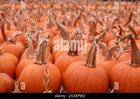 Orange Kürbisse zu einem Pumpkin Patch. - Stockfoto