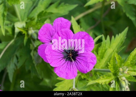 Storchschnabel, geraniaceae, Kinder in kräftigem Lila Rosa - Stockfoto