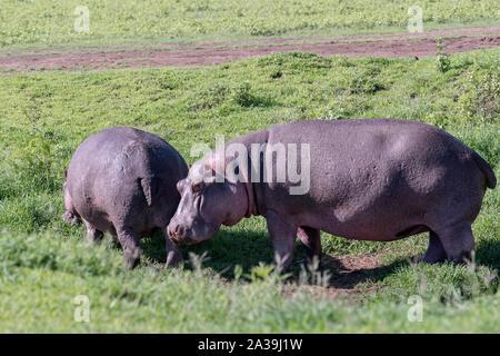 Paar Flusspferde (Hippopotamus amphibius) Beweidung in frischem Gras in der offenen, Ngorongoro Krater, Tansania - Stockfoto