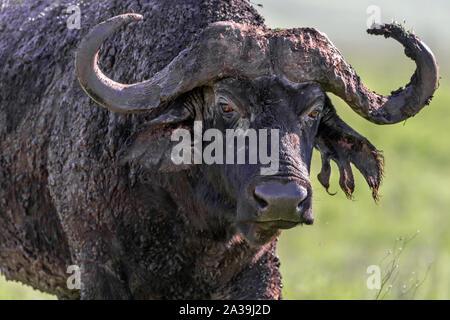 Großen schlammigen alte männliche Büffel mit zerrissenen Ohr, Ngorongoro Krater, Tansania