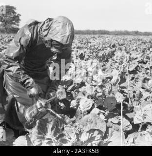 1950, historische, Mann in einem Schutzanzug, Schutzhandschuhe und das Tragen einer Gasmaske außerhalb in einem Feld sprühen Ernten mit einem kleinen Metall Feldspritze, England, UK. - Stockfoto