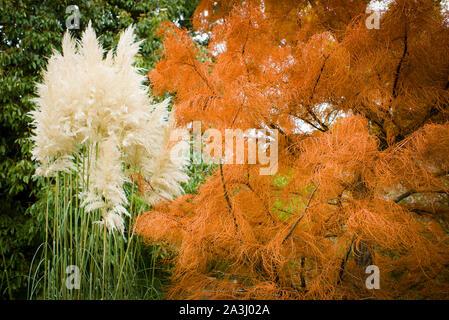 Kontrastreiche Displays von zwei deutlich verschiedene Pflanzen in Badewanne Botaniic Gärten. Herbst Laub von Swamp Cypress und cremig Schwaden von Pampas Gras - Stockfoto