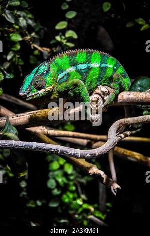 Panther chameleon (Furcifer pardalis) auf einem Ast sitzend - Stockfoto