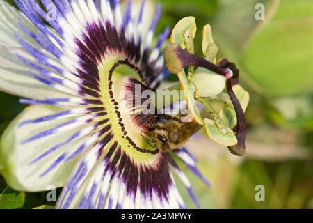 Honigbiene (Apis mellifera) Nahrungssuche auf einer Passionsblume (Passiflora caerulea), Berkshire, August