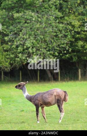 Llama in einem Feld, auf einem Bauernhof, Ewyas Harold, Herefordshire, England, Vereinigtes Königreich - Stockfoto