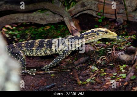 Yellow-headed Wasser-monitor Varanus cumingi - Stockfoto