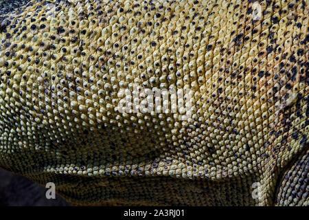 Komodo Dragon Skin - Varanus komodoensis - Stockfoto