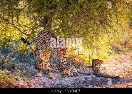 Drei Geparden in den Etosha Nationalpark - Stockfoto