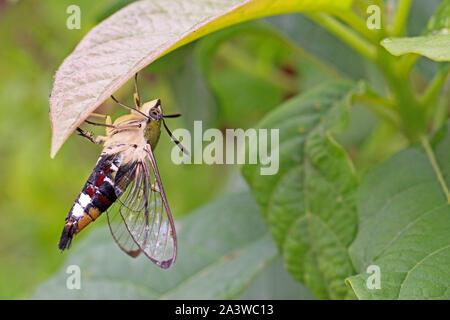 Schmetterlinge sind Insekten im macrolepidopteran Clade, die auch Motten umfasst. Erwachsene Schmetterlinge haben große, oft bunten Flügeln. - Stockfoto