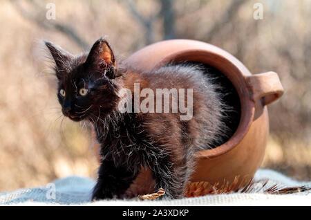 Eine schwarze drei Monate alte Norwegische Waldkatze mit Versteck spielen und mit einem großen braunen Tontopf suchen - Stockfoto