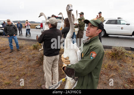 Trumpeter Swan cygnets werden von Förstern und Biologen des Yellowstone National Park September 10, 2019 in Yellowstone, Wyoming freigegeben. Der National Park Service hat einen laufenden Anstrengungen zum Schutz der gefährdeten Schwäne erholen in Yellowstone. - Stockfoto