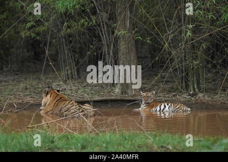 Matkasur Männliche Tiger Abkühlung mit seiner Cub in Monsun, Tadoba Wald, Indien. - Stockfoto