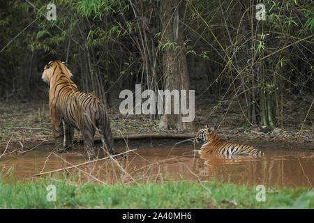 Matkasur Männliche Tiger beobachten ein Raub mit seiner Cub in Monsun, Tadoba Wald, Indien. - Stockfoto