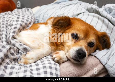 Süße kleine Hund liegend auf einem Kissen im Bett unter der Decke, bereit zum Schlafen - Stockfoto