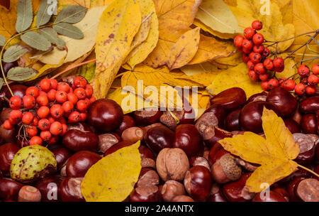 Hintergrund aus Herbst gelbe Blätter von Sycamore Arten von Ahorn, Rosskastanie Samen, Eicheln und vogelbeere - Stockfoto