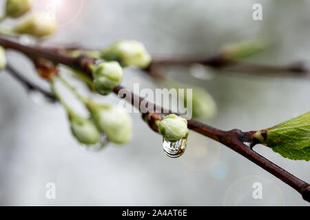 Schönen weißen Blüten und Knospen Pflaume (Prunus domestica) mit transparenten Wassertropfen nach dem Regen, auf einer verschwommenen Hintergrund. Makro. Close-up. - Stockfoto
