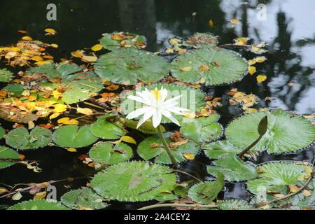 Weiße Seerose in kleinen Teich - Stockfoto