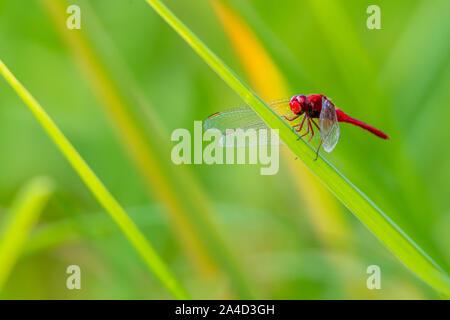 Mehr rote Skimmer Libelle auf Reis Blatt mit grünem Hintergrund verschwimmen - Stockfoto
