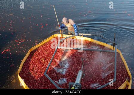 South Haven, Michigan - Arbeitnehmer Ernte preiselbeeren an DeGRandchamp Farmen. Der Moosbeere-sumpf ist überflutet, die schwimmende Früchte gesammelt werden.