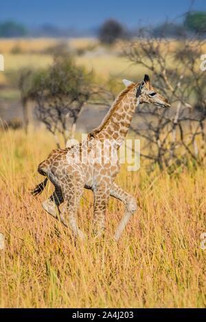 Angolanischen Giraffe (Giraffa Camelopardalis angolensis), junge Tier Galopp durch die Savanne, Moremi Wildlife Reserve, Ngamiland, Botswana - Stockfoto