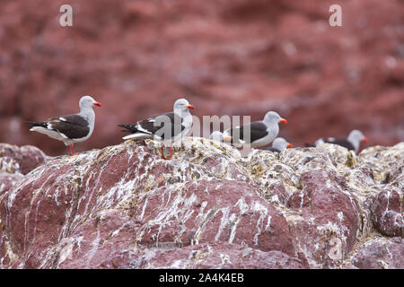 Gaviota gris (scoresbii Leucophaeus) Isla Pingüino, Puerto Deseado, Patagonien, Argentinien - Stockfoto