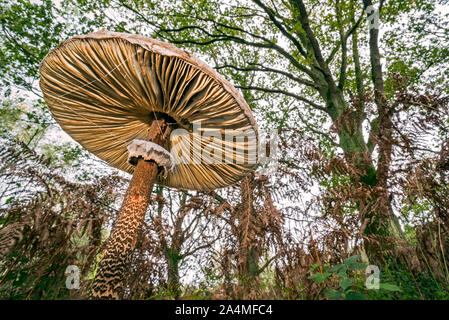 Die Unterseite der Sonnenschirm Pilz (Macrolepiota procera), die Kiemen und beweglichen Ring in Wald im Herbst/Herbst