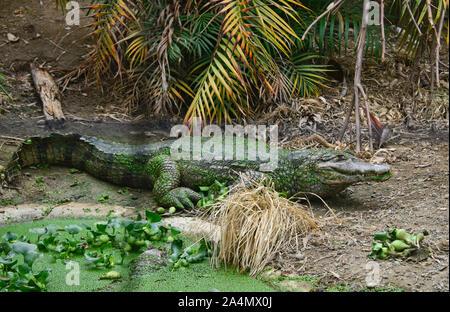Schwarzen Kaiman (Melanosuchus niger), Ecuador - Stockfoto