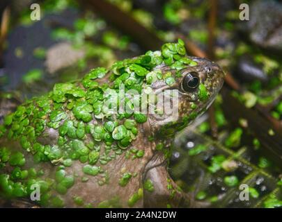 Amerikanische Ochsenfrosch (Lithobates catesbeianus), Amaru Biopark, Cuenca, Ecuador - Stockfoto