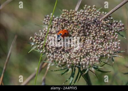 Ein 7-Punkt Marienkäfer (Coccinella septempunctata) auf der Dolde eine Wilde Möhre (Daucus carota) - Stockfoto