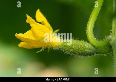 Blühende kleine Junge Gurke wächst im Gewächshaus auf Eco landwirtschaftlichen Betrieb. Makrofotografie, Nahaufnahme der natürlichen Frische Gemüse. - Stockfoto