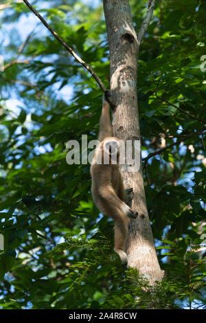 Die lar Gibbon (Hylobates lar), auch als die weisse Hand Gibbon bekannt, ist eine vom Aussterben bedrohte Primaten in der gibbon Familie Hylobatidae. - Stockfoto