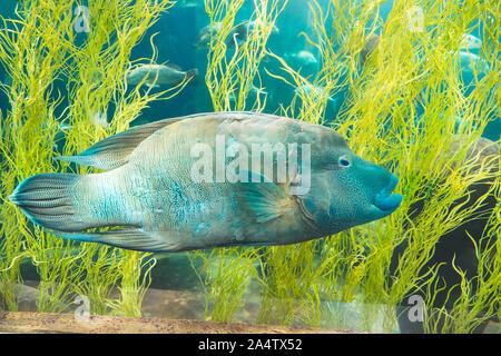 Blau Napoleons Schwimmen im Ozean Aquarium Tank Aqua World in Phu Quoc, Vietnam - Stockfoto