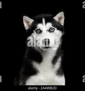 Portrait von Sibirischen Husky Hund mit blauen Augen überrascht schauen in die Kamera auf isolierten Schwarzen Hintergrund - Stockfoto