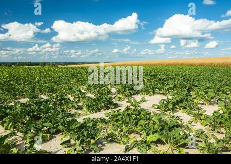 Grünes Feld mit Rüben, den Horizont und die weißen Wolken am blauen Himmel - Stockfoto