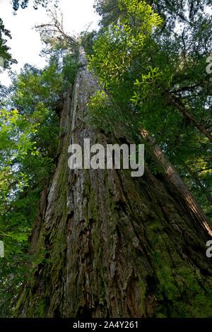 CA 03696-00 ... Kalifornien - Der große Baum, der in den hohen Bäumen Grove Bereich der Redwoods National- und Staatsparks. - Stockfoto