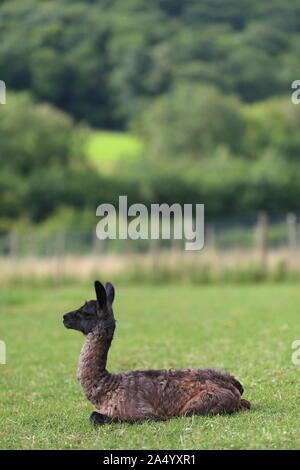 Neugeborenes Baby Llama, Fohlen, in einem Feld, auf einem Bauernhof, Ewyas Harold, Herefordshire, England, Vereinigtes Königreich - Stockfoto