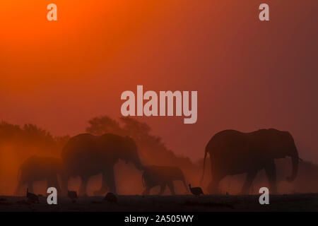 Afrikanische Elefanten (Loxodonta africana) bei Sonnenuntergang, Chobe National Park, Botswana - Stockfoto