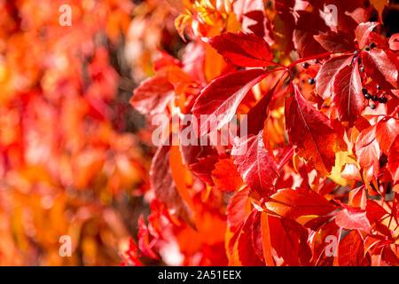 Blätter im Herbst Hintergrund. Makroaufnahme von Efeu Blätter rot. Efeu (Hedera helix), die Wände. - Stockfoto