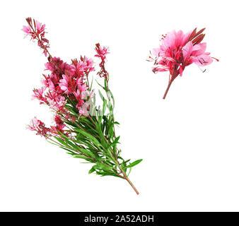 Blumen und Zweig der Oleander auf weißem Hintergrund. - Stockfoto