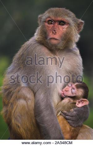 Graue und braune Affen umarmt kleiner Affe - Stockfoto