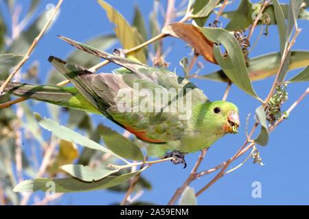 Weibliche Australian Red-winged Parrot - Stockfoto
