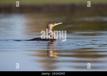 Kormoran (Phalacrocorax Carbo) - Stockfoto