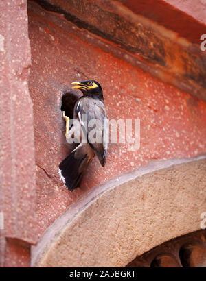 Indische Myna bird nisten in den Wänden des Roten Fort in Agra, Indien. Gemeinsamen myna Myna oder Indische (Acridotheres Tristis) - Stockfoto