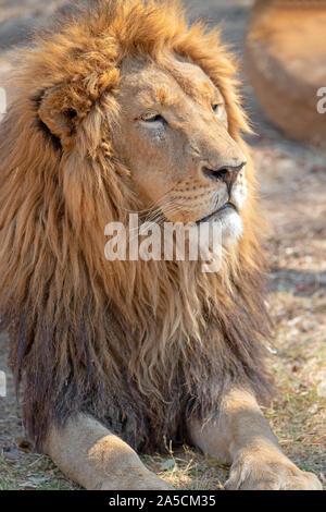 Männliche Löwe Kopf in Südafrika Stockfoto