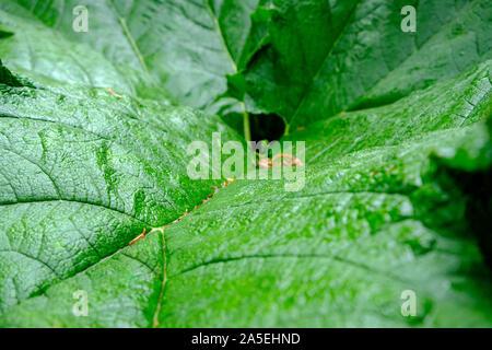 Nahaufnahme von einem grünen Blatt am Edinburgh Royal Botanic Gardens. Bild als Hintergrund für die Ökologie. - Stockfoto